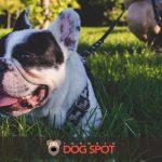 The French Bulldog (Frenchie) Dog Breed Information