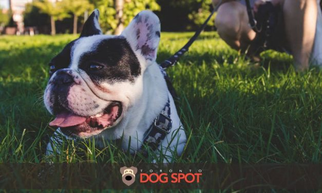 The French Bulldog (Frenchie) Dog Breed Information