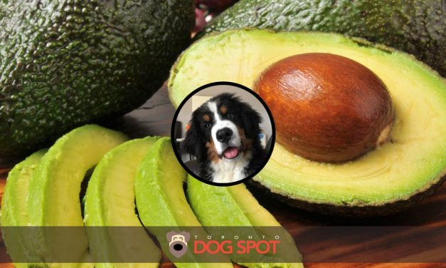 Can Dogs Eat Avocado?