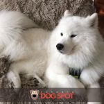 The Samoyed Dog Breed Information