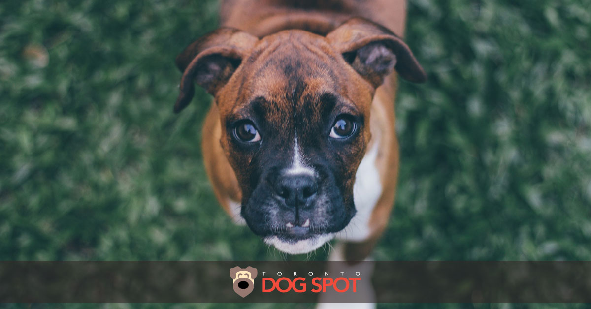 Boxer Dog Breed Information